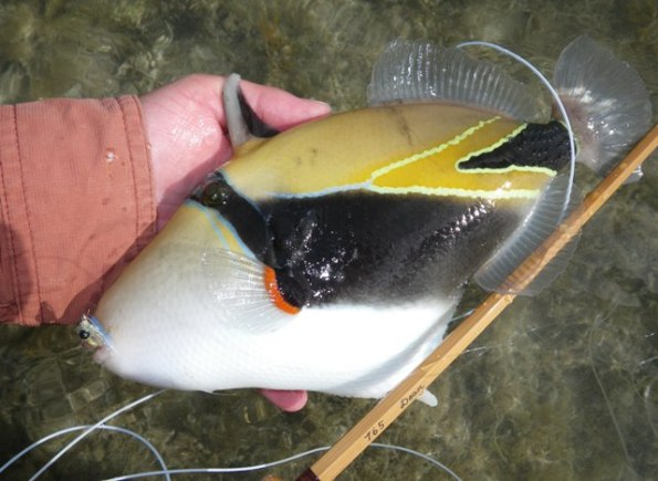Humuhumunukunukuapua A Fish | Nervous Water Fly Fishers Fly Fishing Shop Guide Service In Hawaii